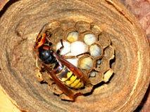 Las larvas de la avispa y Imagenes de archivo