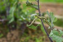 Las larvas de la oruga de la mariposa del blanco de col que come las hojas de una col Vista macra de un verde de la consumición d fotografía de archivo libre de regalías