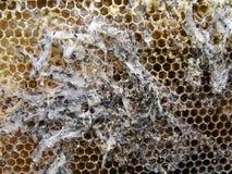 Las larvas de la polilla de cera en una jerarquía infectada de la abeja la familia de abejas están enfermas con una polilla de ce Imagenes de archivo