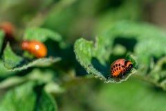 Las larvas del escarabajo de patata de Colorado en la hoja foto de archivo