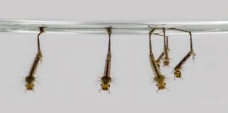 Las larvas del gruñido están colgando en la superficie del agua foto de archivo