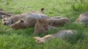 Las leonas africanas salvajes duermen en la sombra de un árbol del acacia después de cazar almacen de metraje de vídeo