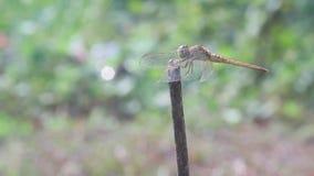 Las libélulas, libélulas están esperando la presa en las ramitas metrajes