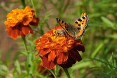 Las lilas de la maravilla que sientan la mariposa y la abeja recogen verde del néctar Fotos de archivo