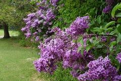 Las lilas proporcionan color y fragancia en primavera fotografía de archivo libre de regalías