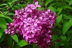 Las lilas proporcionan color y fragancia en primavera imágenes de archivo libres de regalías