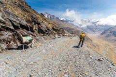 Las llamas reúnen la carga pesada que lleva, montañas de Bolivia Imagenes de archivo