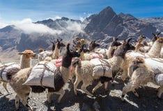 Las llamas reúnen la carga pesada que lleva, montañas de Bolivia Fotos de archivo