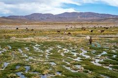 Las llamas y las alpacas pastan en las montañas Fotos de archivo
