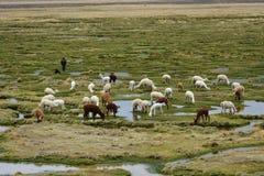 Las llamas y las alpacas pastan en las montañas cerca de Arequipa, Perú Fotos de archivo libres de regalías