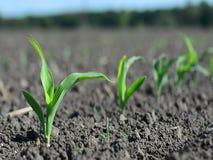 Las malas hierbas hacen su manera a través de la tierra cerca del maíz en primavera temprana metrajes