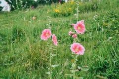 Las malvarrosas están floreciendo imagen de archivo