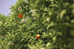Las mandarinas crecen en un árbol Imagen de archivo