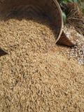 Las maneras de arroz tailandés en rural tailandés Fotos de archivo libres de regalías