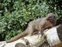 Las mangostas son una grabación completa en un árbol de abedul en el h correcto Imagenes de archivo