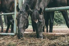 Las mangueras negras comen el heno en cerca en la granja, cierre para arriba de las cabezas de caballos fotos de archivo libres de regalías