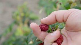 Las manos con las fresas frescas recogieron en el jardín metrajes
