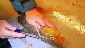 Las manos cortan pescados de bacalao frescos, quitan y comprueban los hígados Visceras del control de las manos y separación de p almacen de video