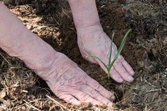 Las manos de la mujer mayor guardan la planta verde joven Foto de archivo