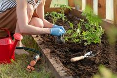 Las manos de la mujer que plantan alm?cigos del tomate en invernadero Concepto org?nico el cultivar un huerto y del crecimiento imágenes de archivo libres de regalías