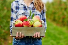 Las manos de la mujer que sostienen el cajón con las manzanas rojas Foto de archivo libre de regalías