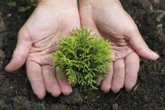 Las manos de las mujeres están plantando el pequeño thuja imagen de archivo libre de regalías