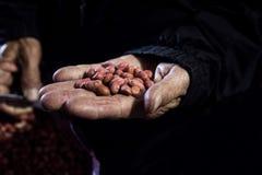 Las manos de los granjeros del cacahuete Fotos de archivo libres de regalías