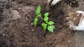 Las manos de los granjeros para aflojar el suelo alrededor y plantando almácigos de tomates almacen de video