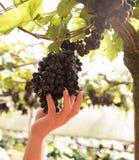 Las manos de los granjeros que escogían las uvas maduran Imagenes de archivo