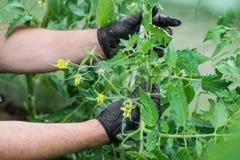 Las manos de los hombres en guantes negros tomar el cuidado de los tomates en el invernadero tomates amarillos de las flores fotografía de archivo