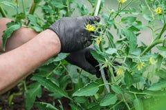 Las manos de los hombres en guantes negros tomar el cuidado de los tomates en el invernadero tomates amarillos de las flores imagen de archivo libre de regalías