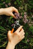 Las manos de las mujeres que cogen las hierbas de la montaña foto de archivo libre de regalías