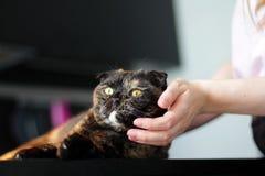 Las manos de las mujeres que frotan ligeramente el gato escocés del doblez Amor para los animales Cuidado del gato fotografía de archivo libre de regalías