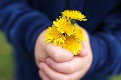 Las manos de un peque?o ni?o est?n sosteniendo un ramo escogido fresco de flores del diente de le?n fotos de archivo