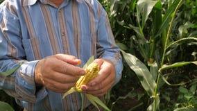Las manos de una mazorca mayor de Peel The Corn del granjero de las hojas, en The Field almacen de video