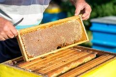 Las manos del apicultor sacan de la colmena un marco de madera con el panal Recoja la miel Concepto de la apicultura imagen de archivo libre de regalías