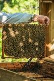 Las manos del apicultor se involucraron con abejas en la colmena Fotografía de archivo