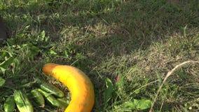 Las manos del cultivador del jardinero pusieron verduras del pepino, del calabacín y de la calabaza en hierba primer 4K metrajes