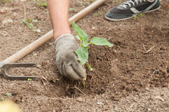 Las manos del granjero que plantan un girasol en el jardín Imágenes de archivo libres de regalías