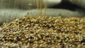 Las manos del granjero vierten la cebada para hacer una variedad oscura de cerveza del arte que baja sobre 59,94 fps superficiale metrajes