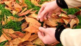 Las manos del hombre cogen las hojas coloridas del otoño de la tierra y las muestran Hojas secas de la cereza salvaje almacen de metraje de vídeo