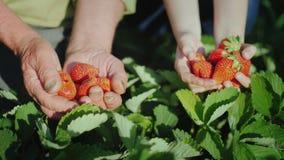 Las manos del hombre mayor y de las muchachas al lado de él sostienen una fresa madura La cosecha de frutas orgánicas foto de archivo