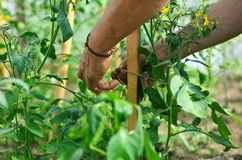 Las manos del hombre que atan encima de ramas de plantas Fotografía de archivo libre de regalías