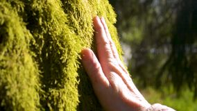 Las manos del hombre y de la mujer están tocando la pared de la alfombra del musgo en el lado norte del árbol almacen de video