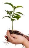 Las manos del niño que sostienen la planta verde en blanco fotografía de archivo