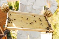 Las manos del primer del apicultor llevan a cabo el marco de madera con el panal Recoja la miel Concepto de la apicultura fotos de archivo libres de regalías
