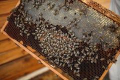 Las manos del primer del apicultor llevan a cabo el marco de madera con el panal Recoja la miel Concepto de la apicultura fotografía de archivo