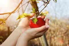 Las manos del ` s de la mujer están tomando abajo de manzana roja del árbol Foto de archivo libre de regalías
