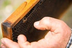 Las manos del ` s del apicultor en el fondo de un bastidor con los panales vacíos Imagenes de archivo