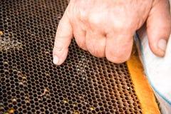 Las manos del ` s del apicultor en el fondo de un bastidor con los panales vacíos Imágenes de archivo libres de regalías